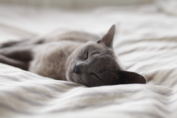 A grey cat, sleeping.