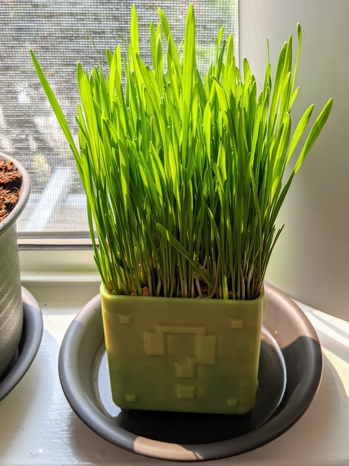 Wheatgrass 5 days after sowing